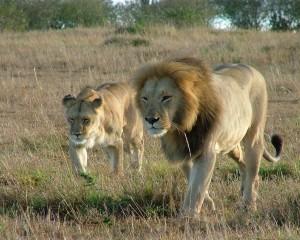 walking-lions